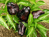 black sweet peppers