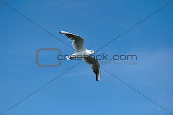 black-headed gull (Chroicocephalus ridibundus) 3