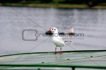 black-headed gull (Chroicocephalus ridibundus) 4