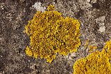 Detail of yellow crustose lichen