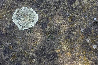 Crustose lichen on concrete