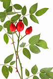 Rose hips of the wild rose (Rosa canina)
