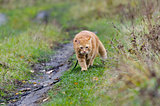 Red cat walks in the autumn grass on a leash