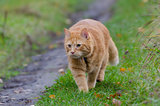 Red cat walks in the autumn grass