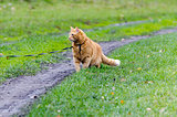 Red cat walking through the green grass on a leash