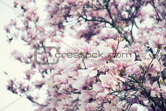 Blossoming of magnolia flowers