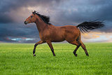 Horse trott on a green grass