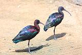 Two Glossy Ibis (Plegadis falcinellus)