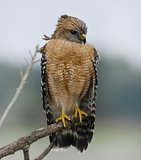 Red Shouldered Hawk Perching