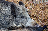 Sweet dream of wild boar