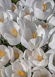 White crocus with yellow orange pistil