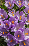 Purple crocus with yellow pistil