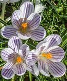 Violet striped crocus with yellow pistil