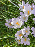 Violet crocus in green grass