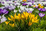 Yellow crocus in green grass