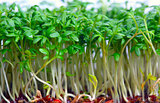 Growing salad mustard cress