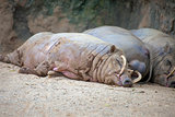 Babirusa Pigs Sleeping