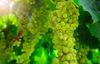 Close up view of hanging grapes