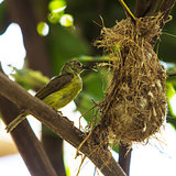 Bird (Olive-backed Sunbird)