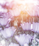 Soft focus of daisy field