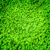 Clover green background