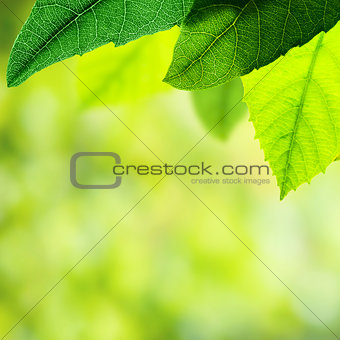 Green spring leaves background