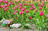 wooden shoes in tulips
