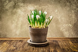 Detail of nice crocus flower in pot, vintage style