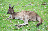 native Australian kangaroo