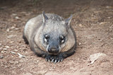 native australian Wombat