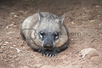 native australian Wombat