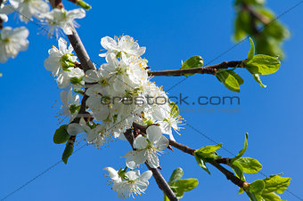 Blossoming cherry branch with white flowers