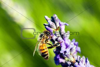 Bee apis mellifica