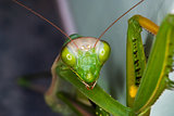 Particular of a green mantis