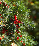 Yew Tree and Berries