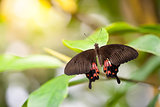 Butterfly Parides Photinus