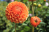Orange Dahlia Flower Closeup
