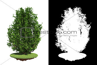 Green Bush on White Background.