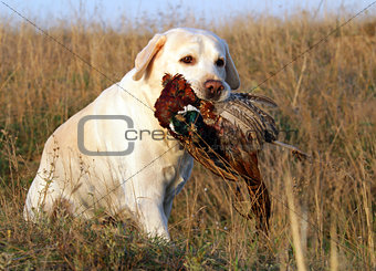 portrait of yellow labrador with pheasant