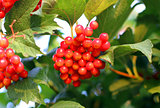 Viburnum bunch