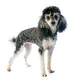 bicolor poodle