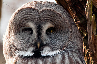 Great grey owl face