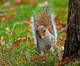 Grey Squirrel Peeping