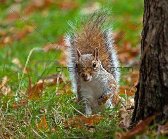 Grey Squirrel Peeping