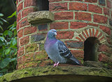 Pigeon on Dovecote