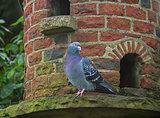 Pigeon on Dovecote