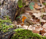 Robin in Woodland
