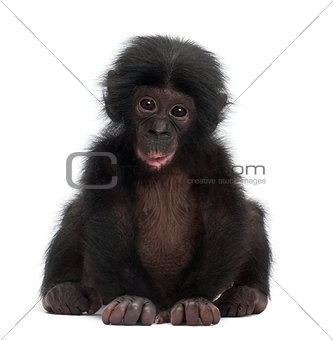 Baby bonobo, Pan paniscus, 4 months old, sitting against white b