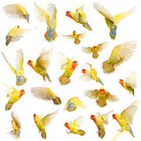 Composition of Rosy-faced Lovebird flying, Agapornis roseicollis, also known as the Peach-faced Lovebird against white background