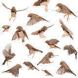 Composition of Zebra Finch flying, Taeniopygia guttata, against white background
